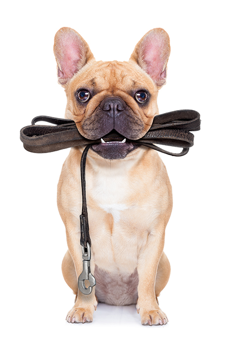 frenchie with leash