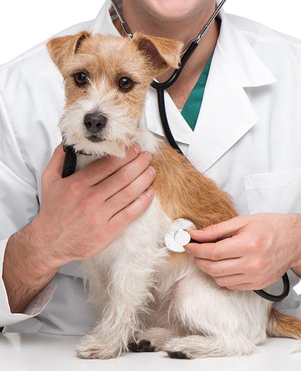 Close-up of veterinarian examining little terrier