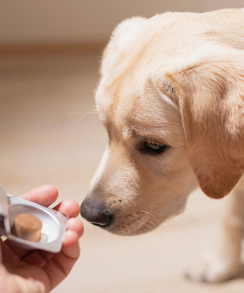 Dog breed Labrador gets pills, vitamins, delicacy from hand of owner. Concept pets and healthcare