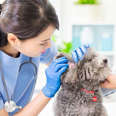 woman veterinarian looking in poodle ear